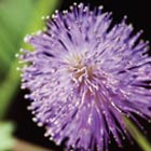 Trauerfloristik Mimose - Oerding Bestattungen Zeven Gnarrenburg Heeslingen